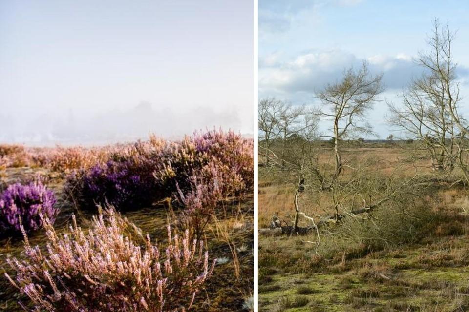 De Kalmthoutse Heide verliest steeds meer haar typische paarse kleur.