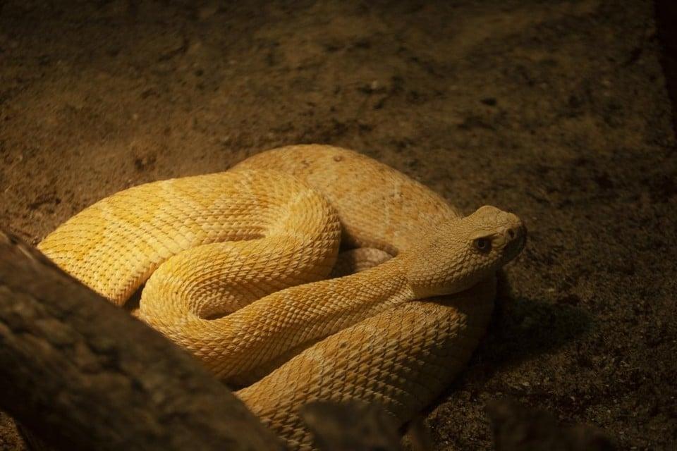 Een gele ratelslang, een van de bewoners van het Serpentarium, zal nu op zoek moeten naar een nieuwe thuis.