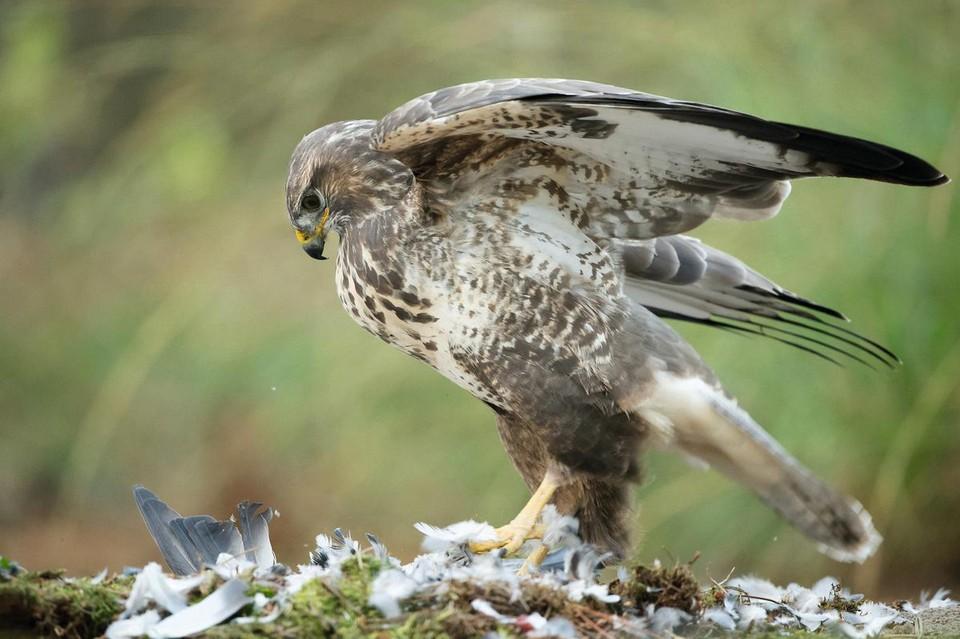 De vogel verdedigt zijn territorium.