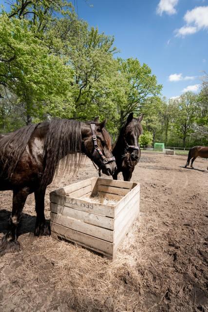 De Friese paarden.
