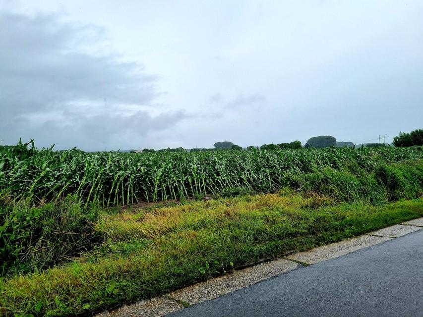 Door de hevige wind kwamen maïsplanten op de velden tussen de Boskant en Oppuurseweg in Bornem plat te liggen.