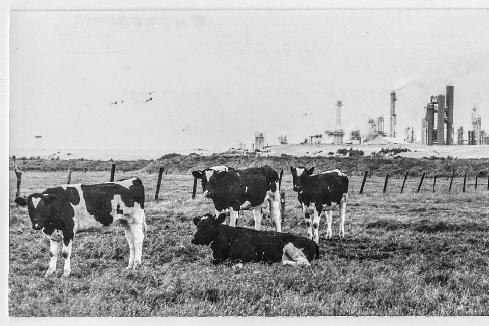 In de jaren zestig van de vorige eeuw domineren koeien het polderlandschap in Zwijndrecht. Op de achtergrond duikt de eerste industrie op.