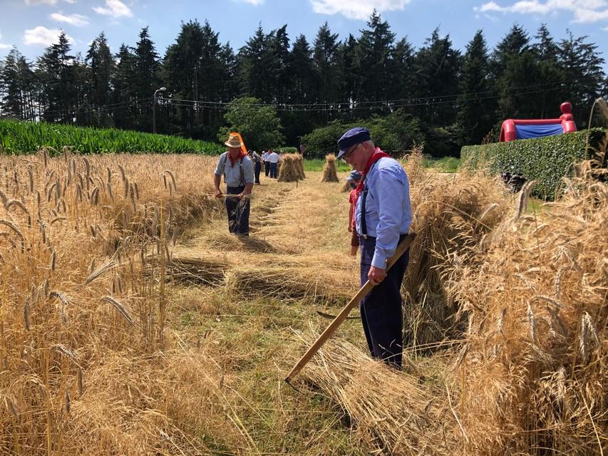 Het koren wordt op een traditionele manier van het veld gehaald.