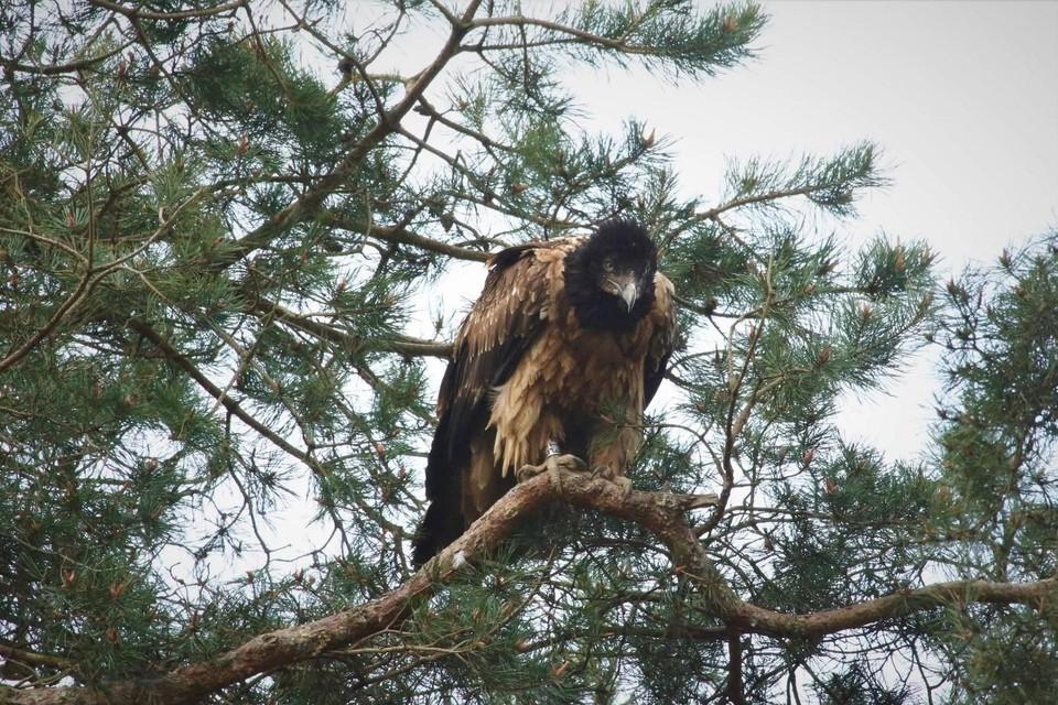 De lammergier vloog over Sinaai en overnachtte in het Stropersbos.