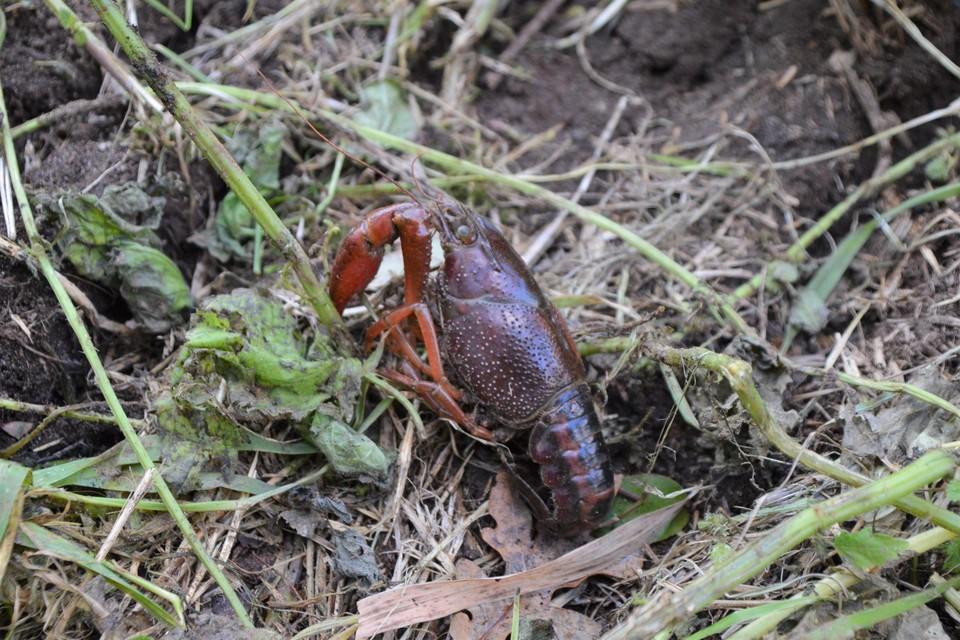 De gestreepte Amerikaanse rivierkreeft die naast de Kleine Beek in Pulle werd aangetroffen.