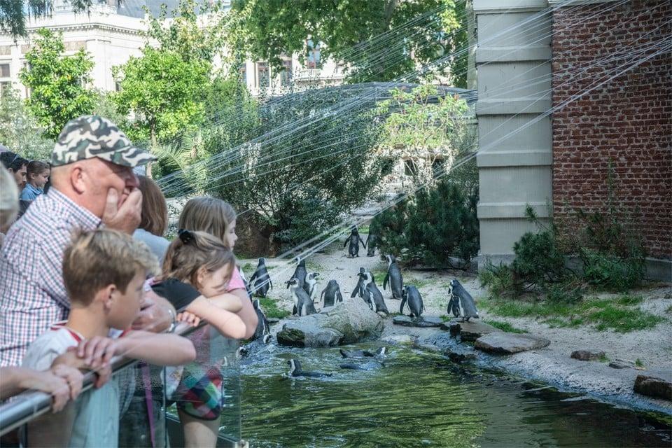De pinguïns in de Antwerpse Zoo.