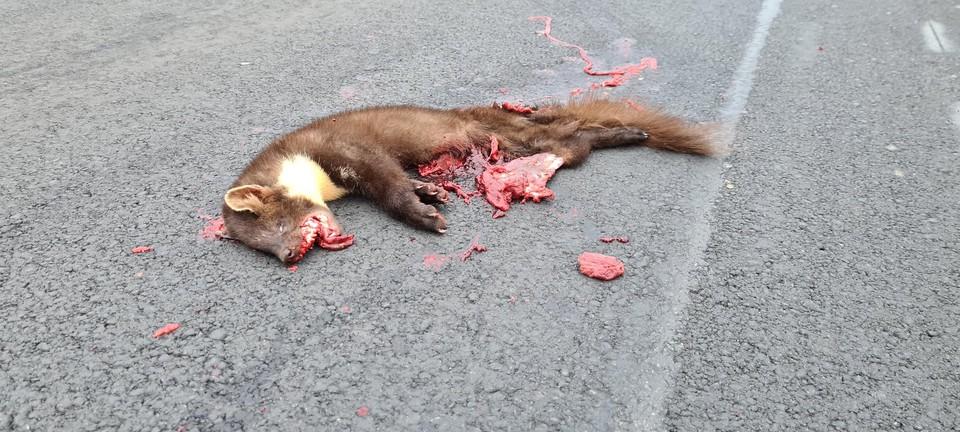 De onfortuinlijke boommarter die de dood vond in Merksem op de Vaartkaai.