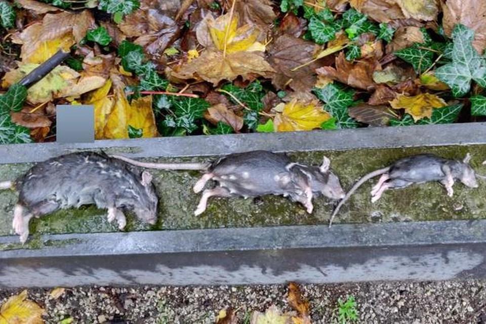 De ratten vallen in een slimme rattenval in een bakje met conserveringsalcohol en raken gauw bedwelmd, waarna ze een pijnloze dood sterven.