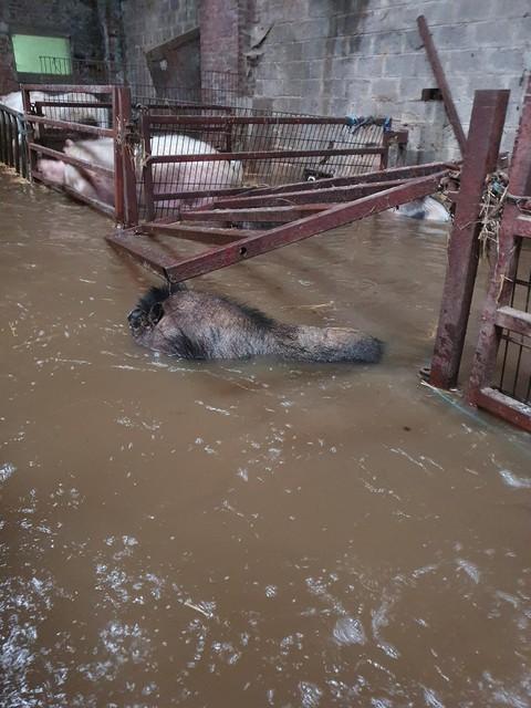 De foto's die het asiel zelf maakte van overstroomde varkensstallen.