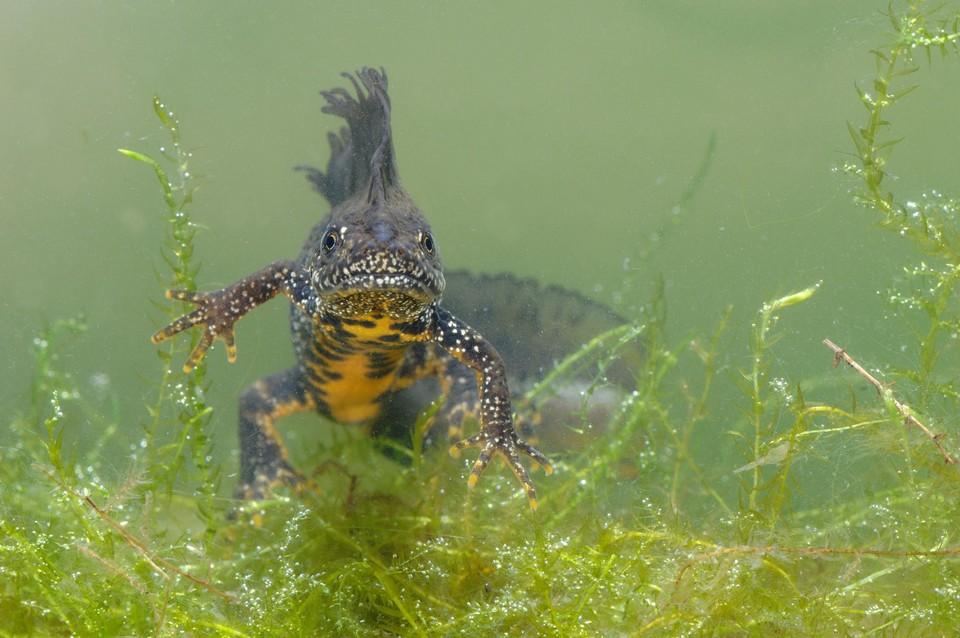 De kamsalamander noemt niet voor niets ook de grote watersalamander; Om zich voort te planten moet de poel een meter diep zijn.