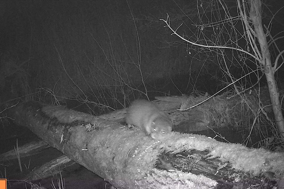 De foto van het otterjong is gemaakt met een cameraval.
