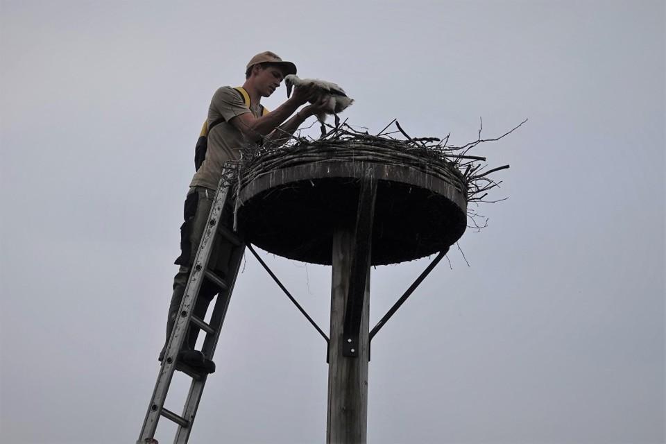De Zegge-medewerker Pieter legt het jong opnieuw in zijn nest nadat het geringd en opgemeten werd.