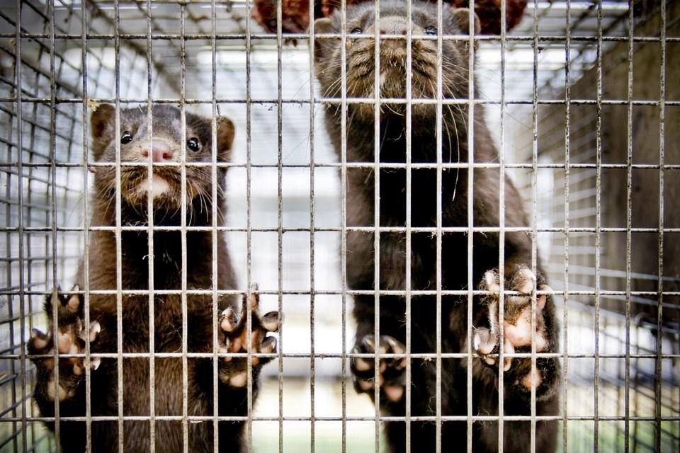 De nertsen worden gekweekt voor hun pels: om er jassen, mutsen en sjaals van te maken.