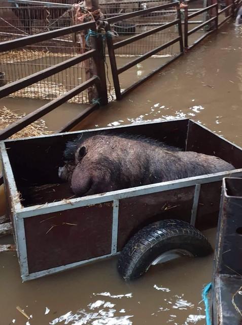 Een varken wordt in een aanhangwagen geëvacueerd.