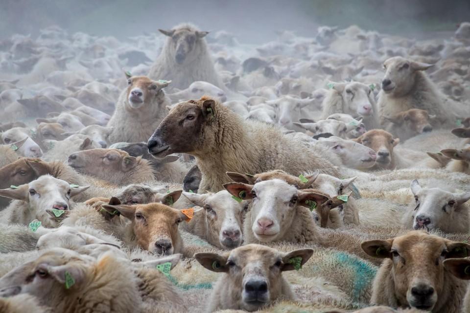 André Gielis uit Turnhout won de fotowedstrijd Kempen in Beeld met deze kudde wollebollen.