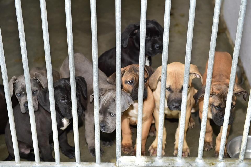 Nog achttien van de 111 cani corsi worden bij de Dierenbescherming opgevangen.
