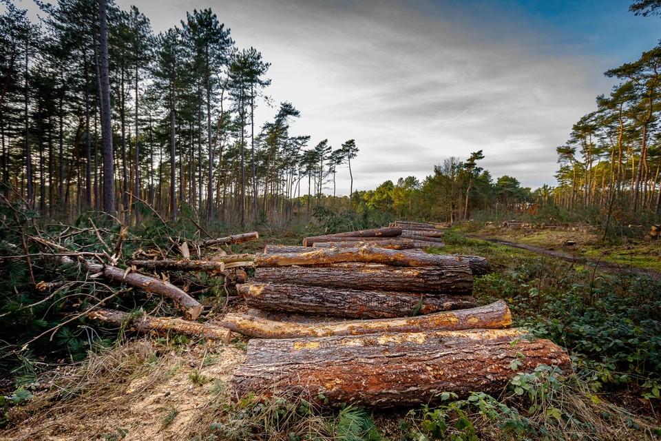 Vrijdagochtend startte Natuurpunt in het Kelderbos met een bomenkap van een gebied van twee voetbalvelden groot.