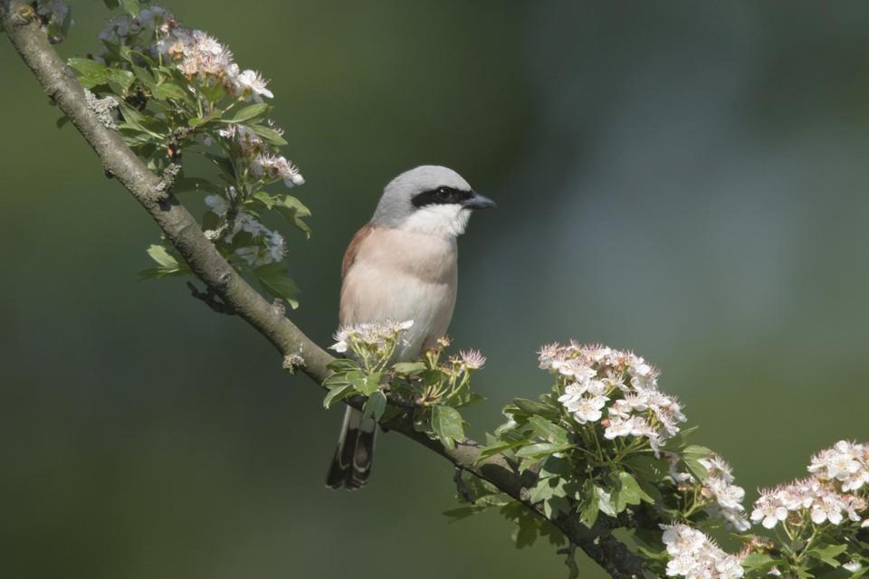 Een vogel rust uit op een tak van de meidoorn. De boom is een topsoort voor een levende tuin die de Behaagactie dit jaar in de kijker zet.
