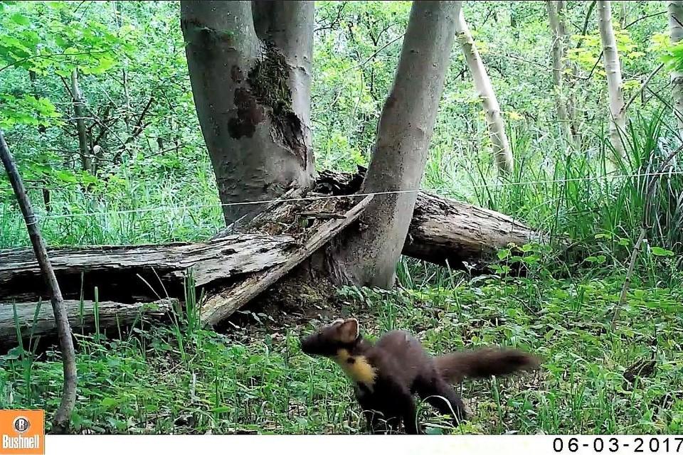 Een boommarter bij leven in zijn natuurlijke habitat: een bosgebied waar hij onder meer op eekhoorns kan jagen..