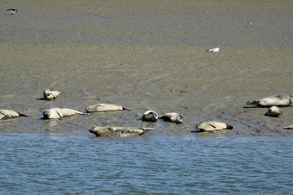 Zeehonden rusten uit in Nieuwpoort. Elk jaar duiken er meer dieren op aan onze kust.
