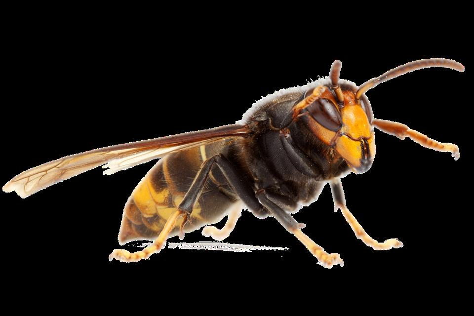 Een Aziatische hoornaar heeft gele pootuiteindes.