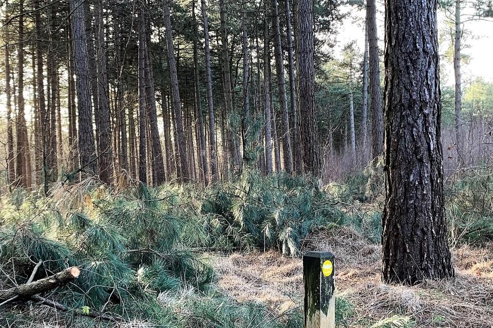 Tot half maart kapt het ANB Corsicaanse dennen in de Nieuwe Gemeentebossen.
