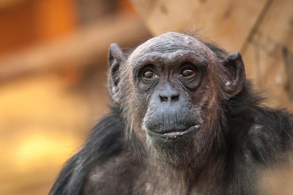 Chimpansee Maaike is op 38-jarige leeftijd gestorven.