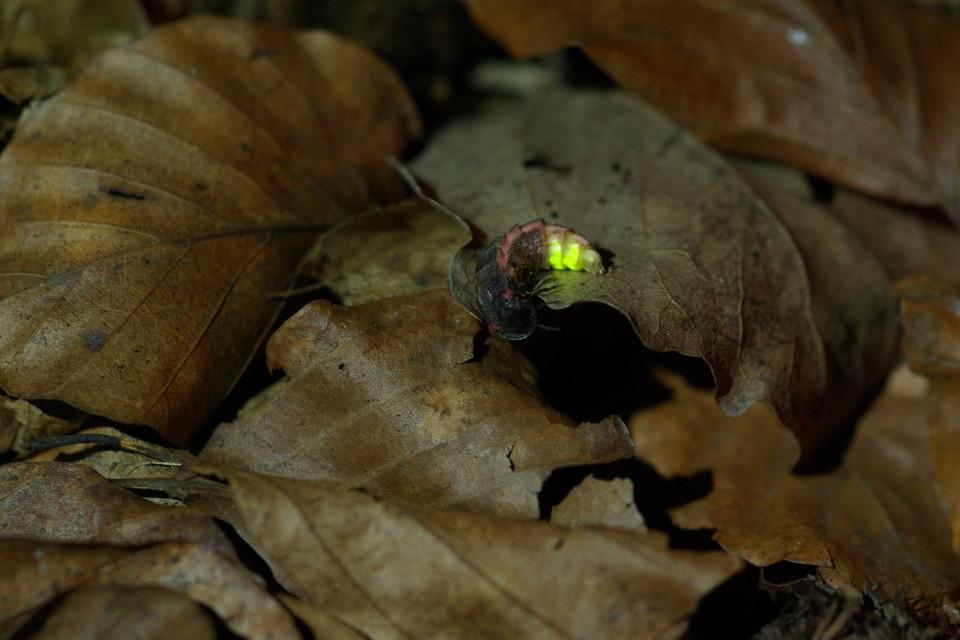 Een vrouwelijke glimworm.