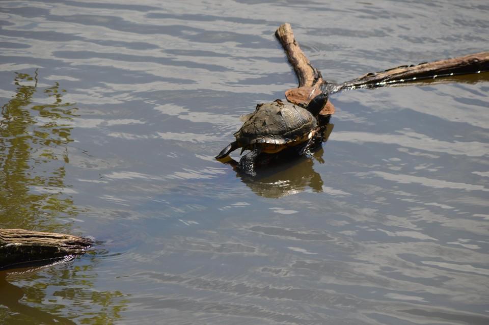 Zelfs de waterschildpadden in de parkvijver kwamen meefeesten.