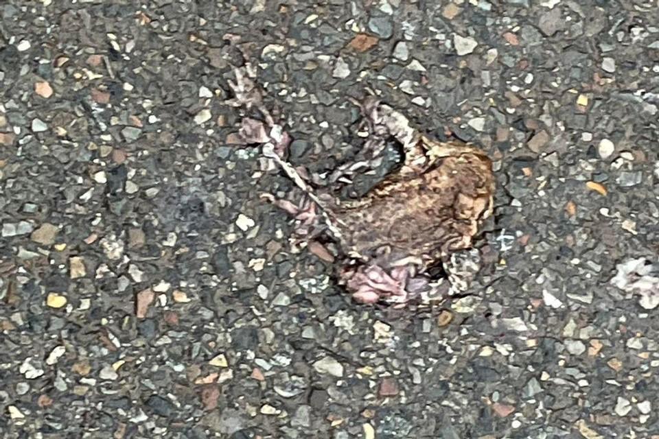 Vele padden werden doodgereden in de Spokenhofstraat.