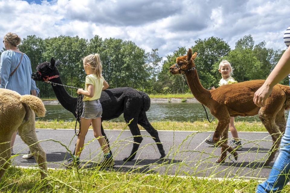 Op stap met alpaca's. Vrijdag kan je het doen in Boom.
