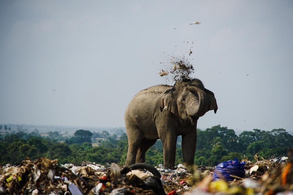 Een olifant op een vuilnisbelt in Sri Lanka.