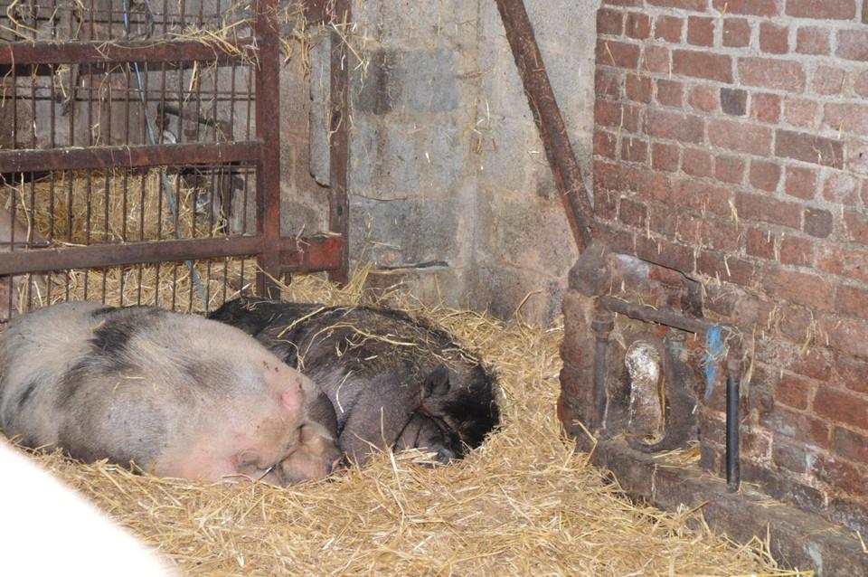 De varkens werden geëvacueerd, maar liggen intussen weer op hun vertrouwde plek.