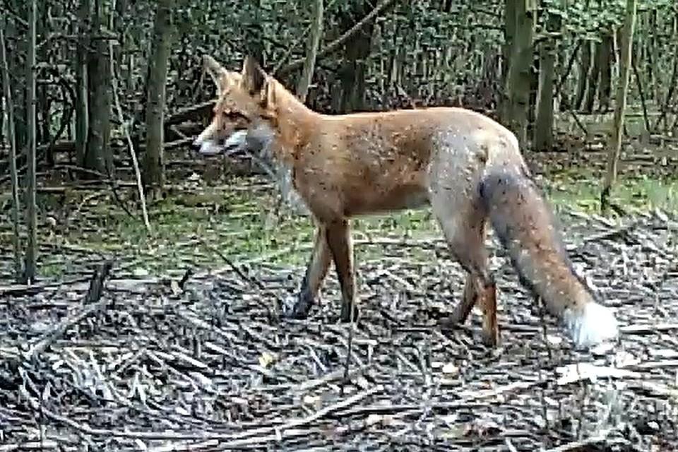 Er leven heel wat vossen in België, ook in steden als Antwerpen en Brussel. Sinds enkele maanden is er eentje die geregeld in de Zoo op zoek gaat naar eten.