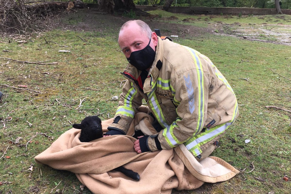 Nadat het lammetje uit het water was gehaald, werd het door brandweermannen warm gewreven omdat het onderkoeld was.