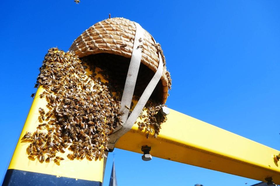 De bijenpopulatie op het verkeerslicht.