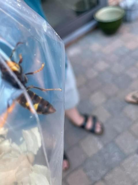 De Zandhovense Aziatische hoornaar is intussen verdelgd. Maar de kans dat er nog meer zitten, is reëel.