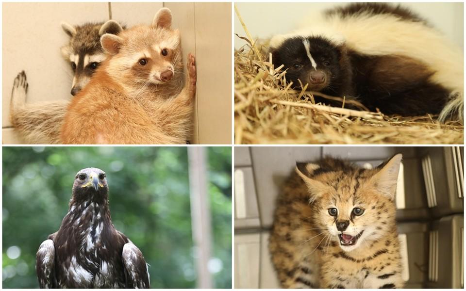 De zes wasberen, twee stinkdieren, drie caracaras, twee steenarenden en een serval worden verzorgd bij het Natuurhulpcentrum in Opglabbeek.