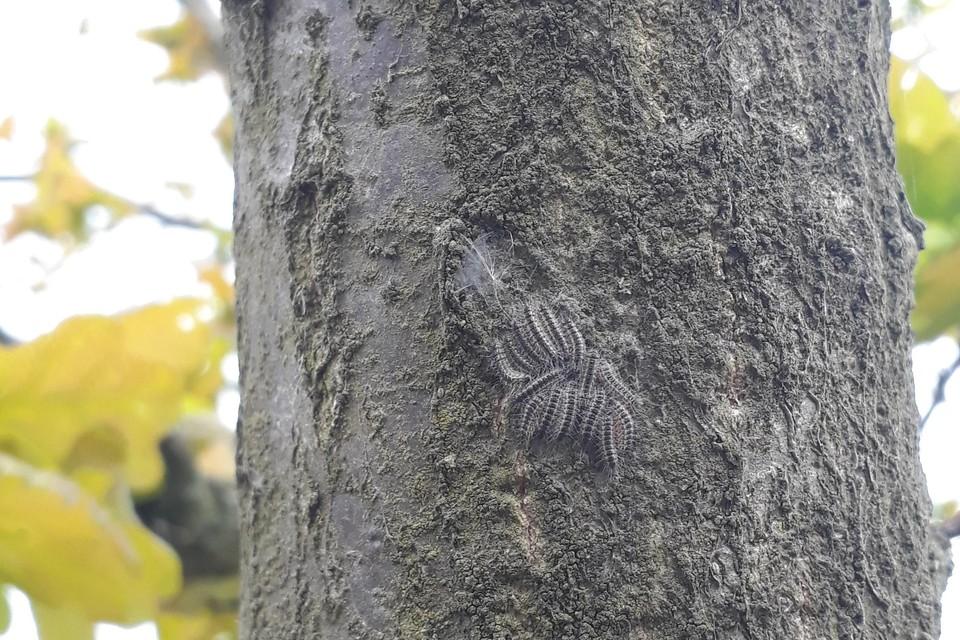 Zo zien de processierupsen er nu uit: kleine groepjes klitten samen op een boomstamen hebben het te koud om te gaan eten.
