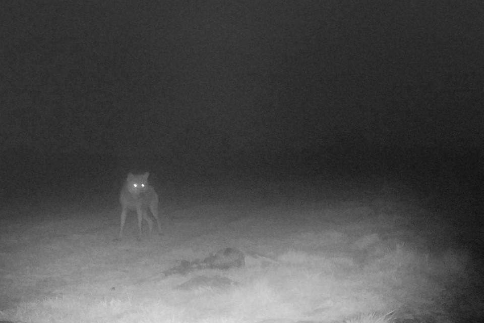 De wolf bij aangevreten reewild zoals hij op een wildcamera werd vastgelegd.
