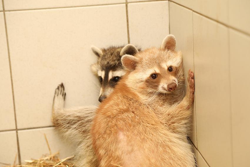 Dierenwelzijn nam in Duffel onder meer zes wasberen in beslag.