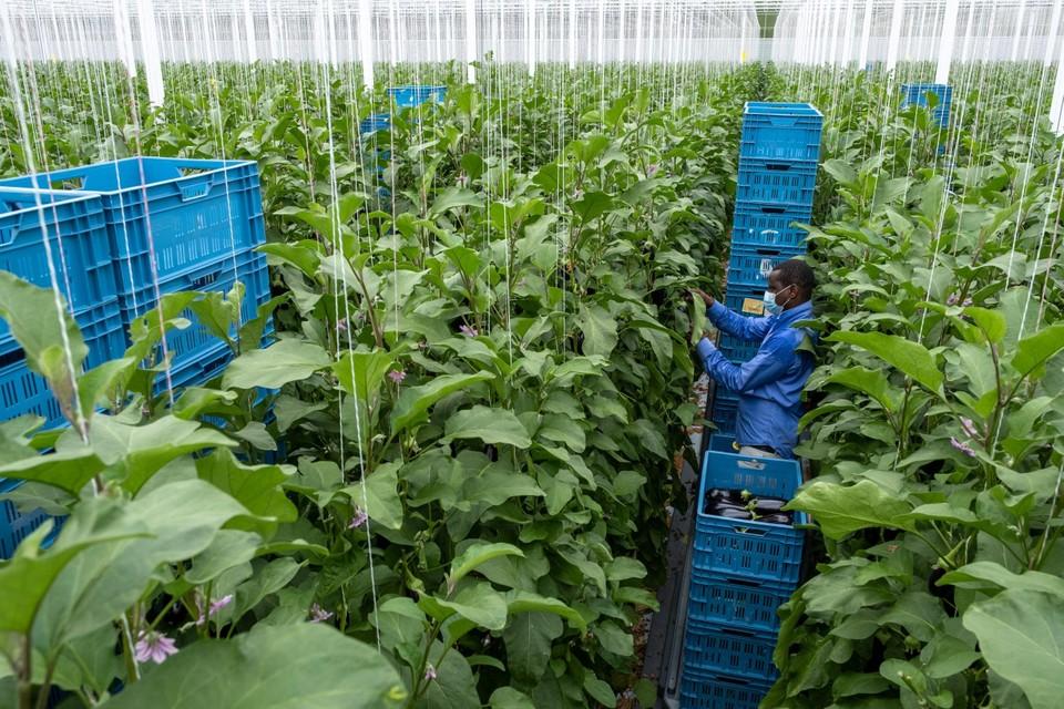 Glastuinbouwers gaan wellicht een dure winter tegemoet, en voelen de stijging van de energieprijzen enorm.
