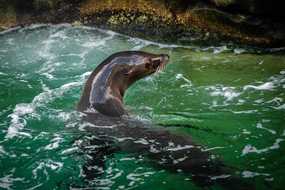 De zeeleeuwen verhuizen binnenkort naar een andere dierentuin.