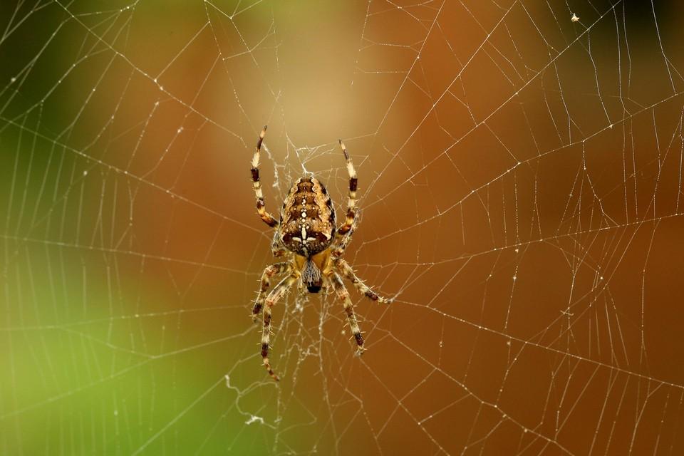 De kruisspin, en zijn grote web, lijkt rond deze periode van het jaar alomtegenwoordig.