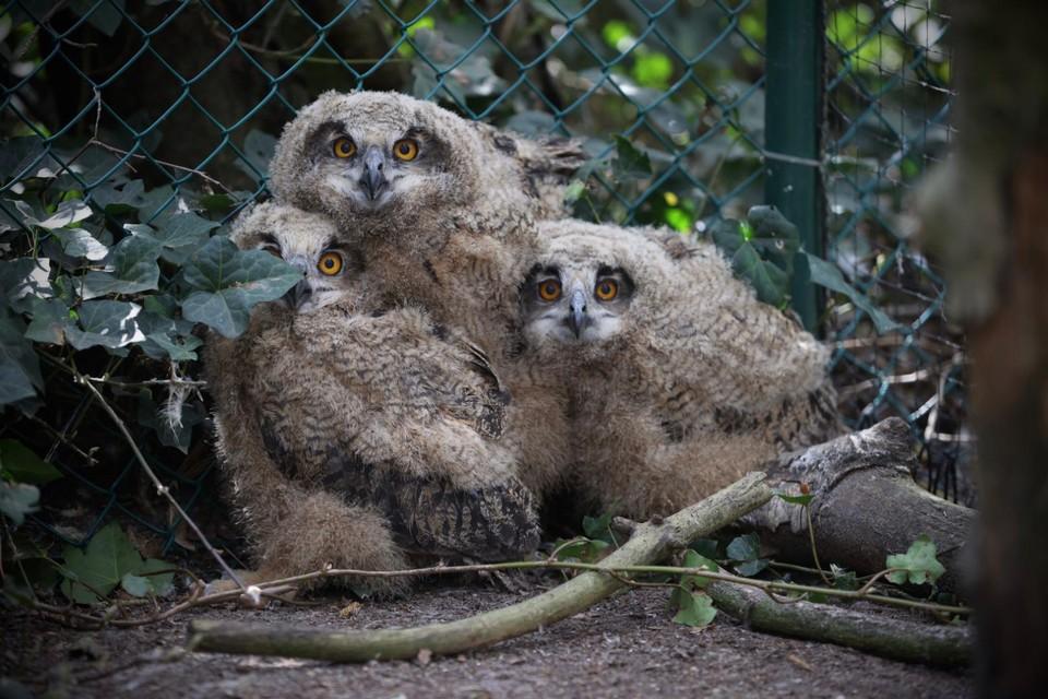 In het Natuurhulpcentrum hebben de kuikens de ruimte om volwaardig op te groeien en te leren vliegen.