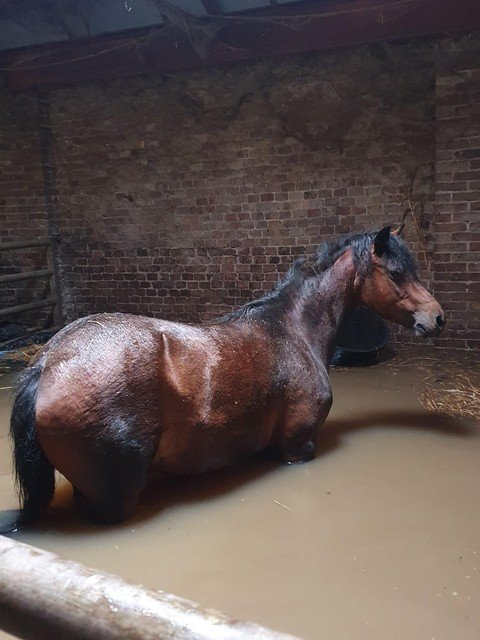 Een pony tot de buik in het water. Intussen is het water wel weggetrokken uit de stallen.