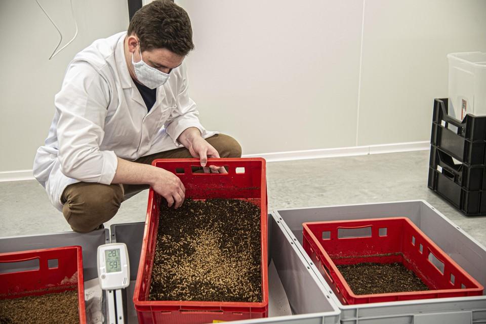 In Geel kunnen ze vandaag 100 kilo larven per dag kweken en verwerken.
