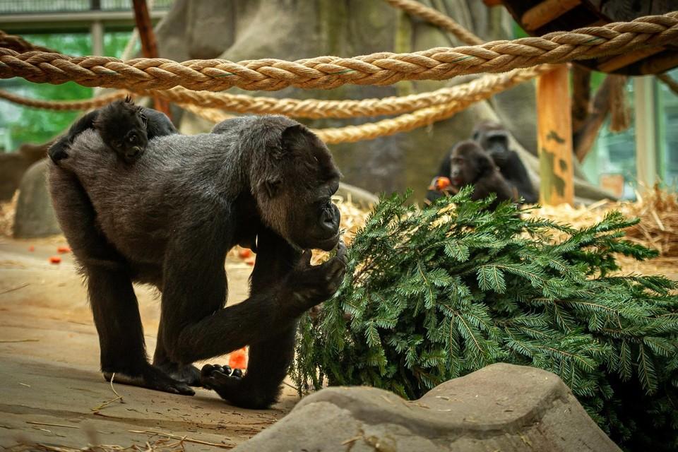 In de Antwerpse Zoo doen ze er alles aan om corona uit het gebouw van de mensapen te houden. Tot nog toe lukt dat. Zo kunnen Mambele en baby Vizazi nagenieten van de feestdagen met een afgedankte kerstboom.