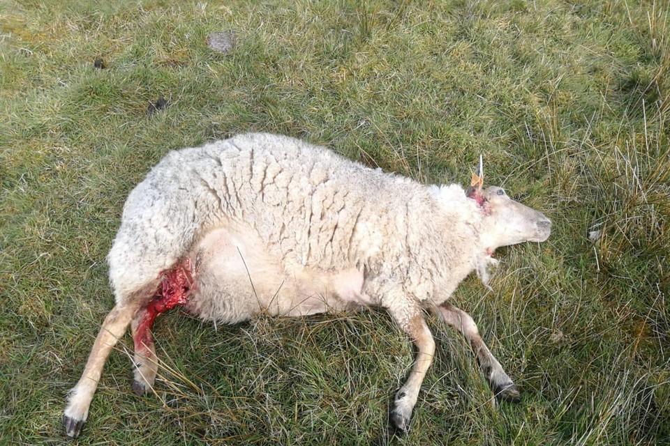 Drie schapen werden dood aangetroffen. Van de 22 andere gewonde dieren moesten er drie afgemaakt worden.
