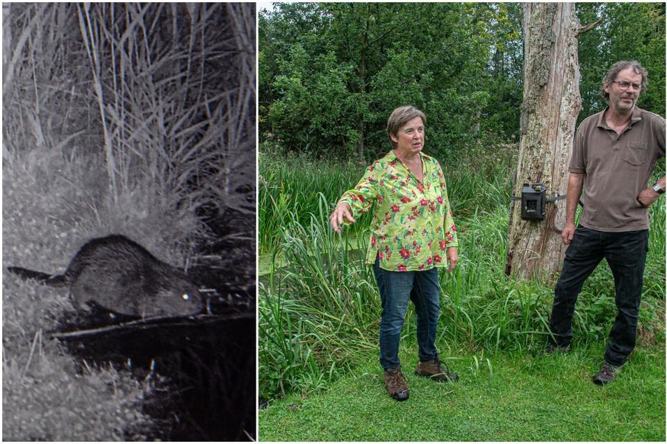 De wildcamera in de tuin van de familie Geys-Löffel uit Mol-Gompel heeft al verscheidene foto's gemaakt van een beverfamilie.